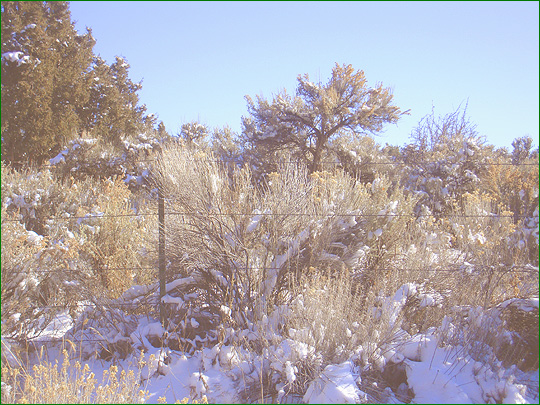 Snow covered chamisas and pinon near Taos, New Mexico