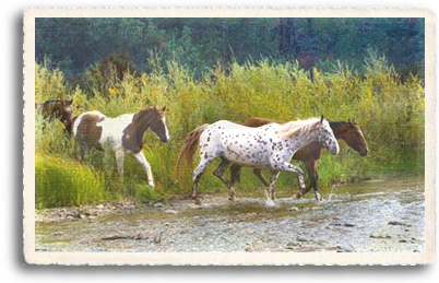 Wild Horses wade through the Pecos River in North Central New Mexico